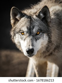 Staring into the yellow ember eyes of a male wolf animal portrait and wild life conservatory