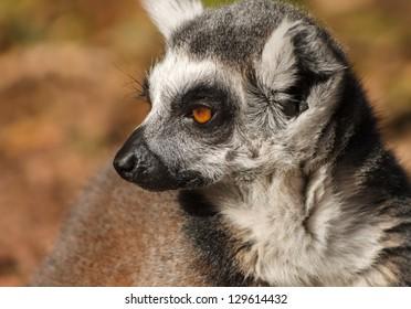 Staring lemur monkey