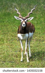 Staring male blackbuck (Antilope cervicapra), also known as the Indian antelope