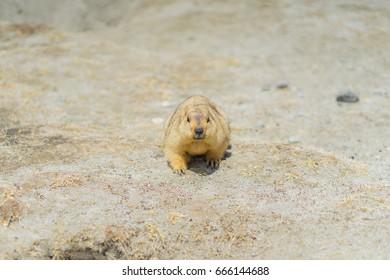 Staring Marmot