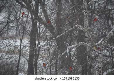 stark cardinals in tree branches