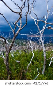 The stark trees of Mesa Verde Colorado stand among new greenery after a fire stripped them of their foliage a year prior