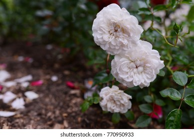 Starlet Rose /  Rose Alina
