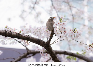 A Starling bird alone in the cherry blossoms in Tokyo.