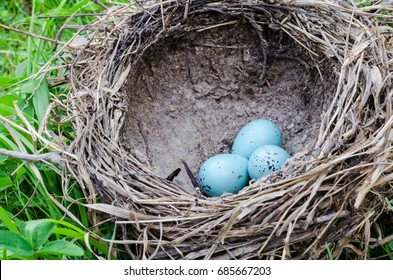 starling eggs in the nest