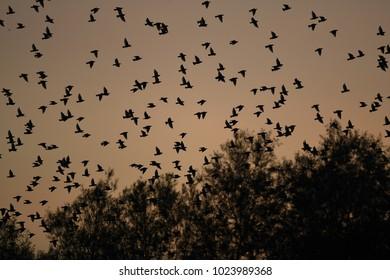 Starling evening murmuration