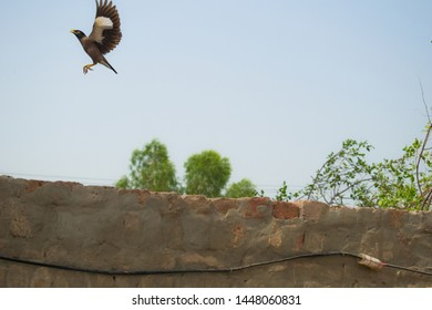 a starling flying in the air with blue sky background.flight of starling in the sky.