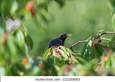 Starling is hiding in a cherry tree with red ripe cherries