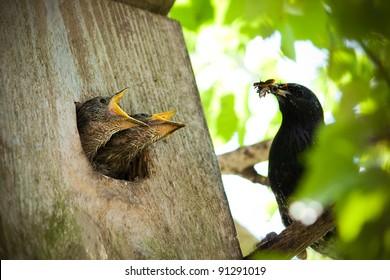 Starling juveniles lunch