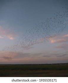 Starling murmurations. A large flock of starlings fly at sunset in the forest. Hundreds of thousands starlings come together making big clouds to protect against birds of prey.
