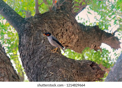 Starling myna (Acridotheres tristis) sits on the trunk of an old tree - Harms the gardens but locust adversary, mock bird - good at learning human language. India