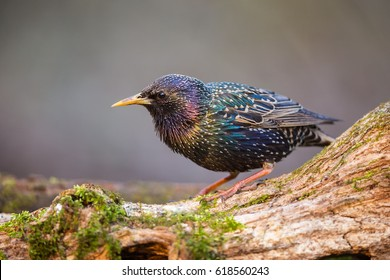 The Starling on the Perch