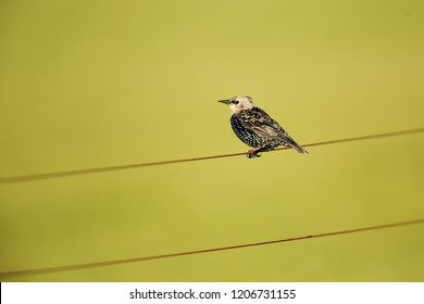 Starling on wire