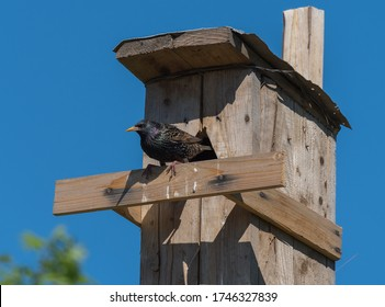 Starling ordinary. Willingly populates artificial nests.