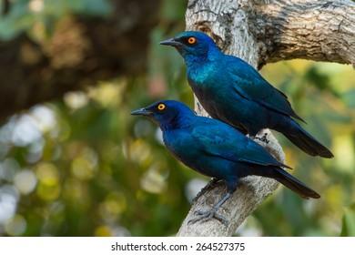 Starling Pair
