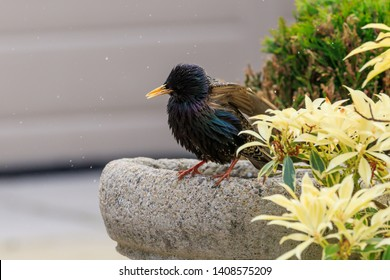 Starling perched on the edge of a birdbath shaking water off from bathing