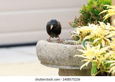 Starling perched on the edge of a birdbath