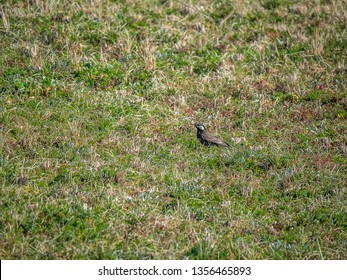A starling picks through a fallow rice field in late winter, looking for food.