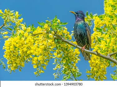 Starling, Scientific name: Sturnus Vulgaris. perched in Laburnum Tree with bright yellow flowers.  Blue Sky background.  Facing left.  Horizontal. Landscape, space for copy.