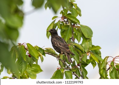 Starling sitting in a cherry tree going to steal berries