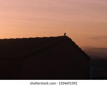 Starling (Sturnus vulgaris) at sunset in Colmenar Viejo (Spain).