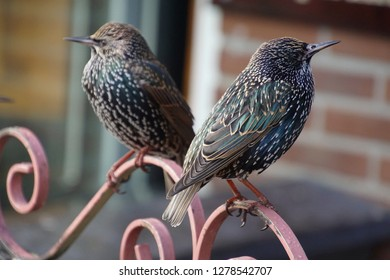Starling waiting for crumbs outside a café in Volendam, Netherlands