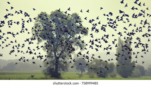 Starlings during migration and wintering grounds in Europe. Mass species of birds. Big flocks of starlings before sleepover concentrated in dense flocks, troop of birds; flock of birds