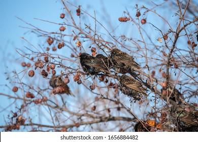 Starlings eating berries in winter