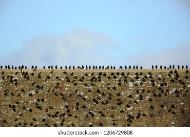Starlings flock on the roof