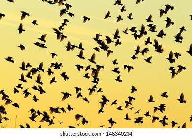 Starlings fly