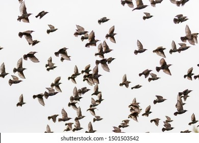 starlings fly through the gray sky