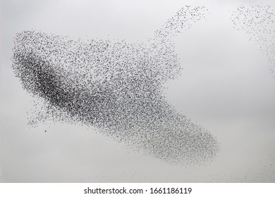 starlings migrating in very tight formation