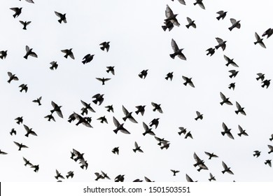 starlings spreading wings flying through the gray sky