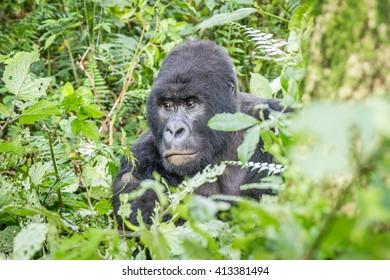 Starring Silverback Mountain gorilla in the Virunga National Park, Democratic Republic Of Congo.