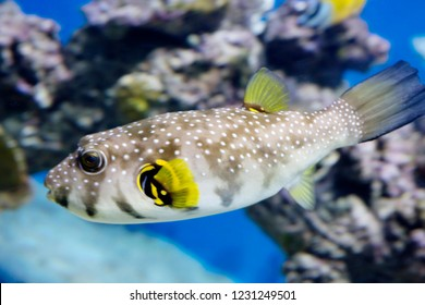 Starry Blowfish (puffer fish). It has a white or grayish color. The whole body is strewn with evenly distributed black spots. Body slightly elongated. The head is large, the front end is rounded.