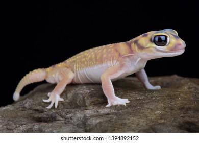 Starry knob-tailed gecko (Nephrurus stellatus)
