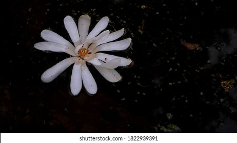 Starry Magnolia (Magnolia Stellata) white flower floating in a dark puddle