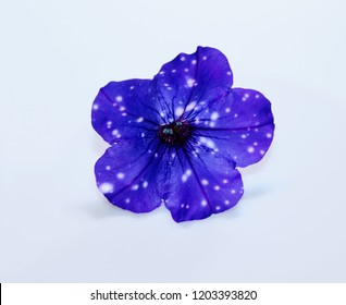 Starry Night Petunia Flower Isolated on White Background