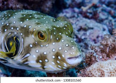Stars and Stripes Pufferfish (Arothron hispidus)