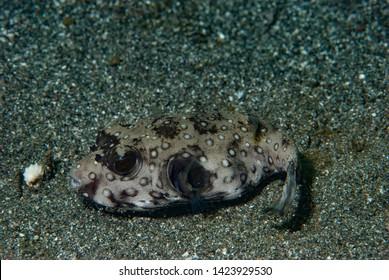 Stars and Stripes Pufferfish Arothron hispidus