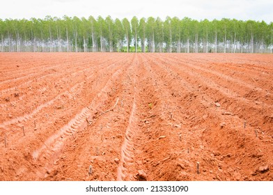start cultivation Cassava or manioc plant and Eucalyptus tree field at Thailand