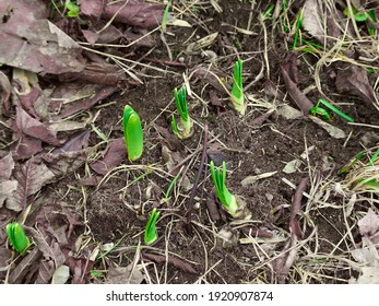 It's the start of a new season, the crocuses are emerging from the earth. It is one of the first flowers to emerge after winter. Quebec, Canada, April 3, 2020