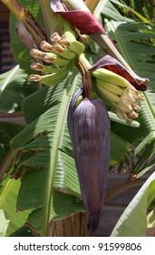 Banana's starting to grow on a banana tree