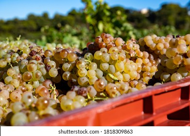 Starting of wine making process, harvesting of white Vermentino or Rolle grapes on vineyards in region Provence, south of France close up