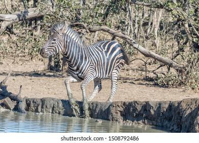 A startled burchells zebra, Equus quagga burchellii, jumping out of a waterhole