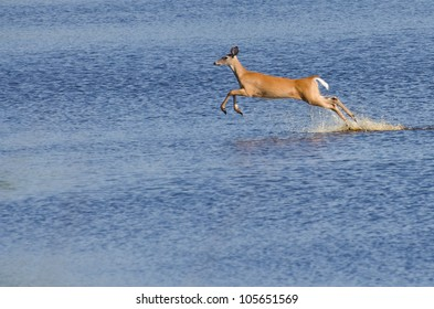 Startled Deer Running and Leaping Through the Water