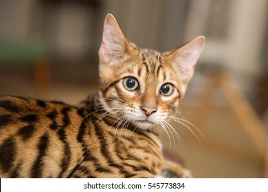 startled toyger kitten with ears perked up - striped tiger cat wide eyes