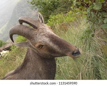 The state animal of Tamil Nadu, Nilgiri tahr