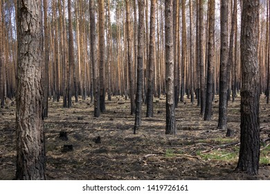 In the state of Brandenburg, Germany, there are more and more forest fires in the pine forests. The forests are dry and in monocultures a devastating fire breaks out more quickly.
