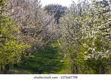 In the state of Brandenburg, Germany, there are still very original avenues with old fruit trees. These are in full bloom.